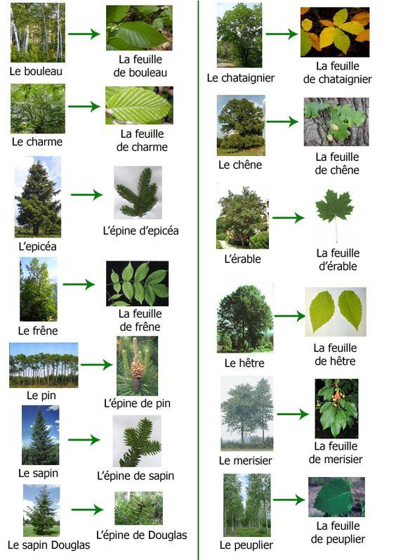 Les arbres et leurs feuilles