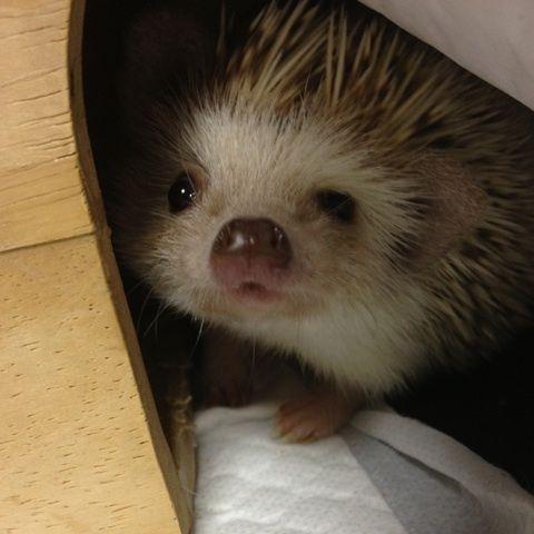 ♡Hedgehog♡ Freakin' favorite animal!
