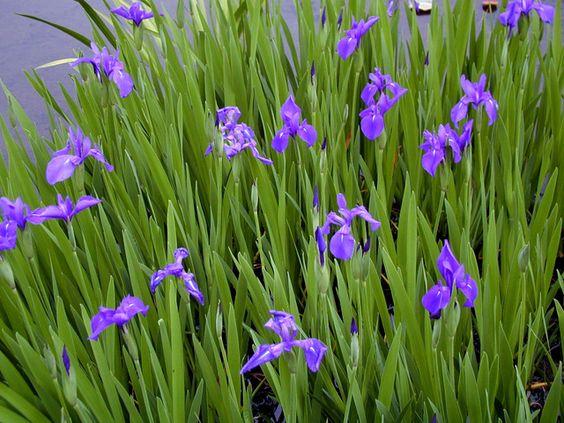 iris-laevigata.jpg 640×480 pixels