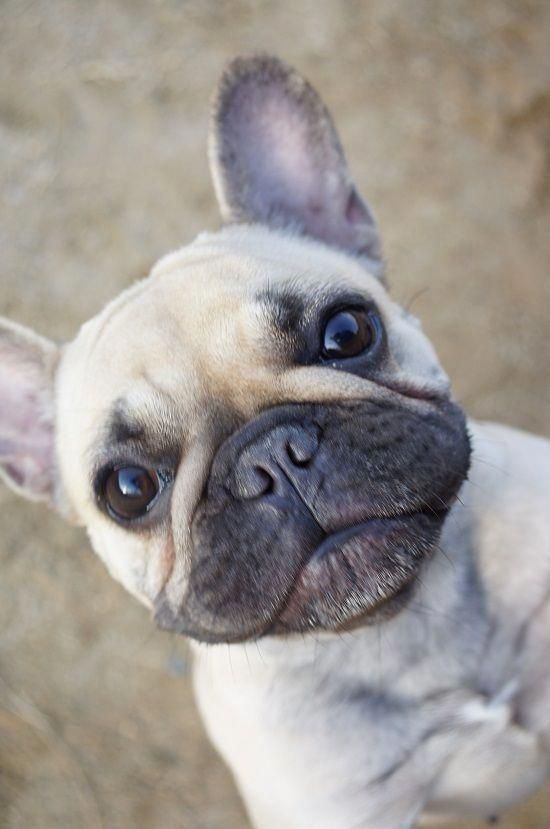 15 Very Interesting And Funny Dog Haircuts French Bulldog