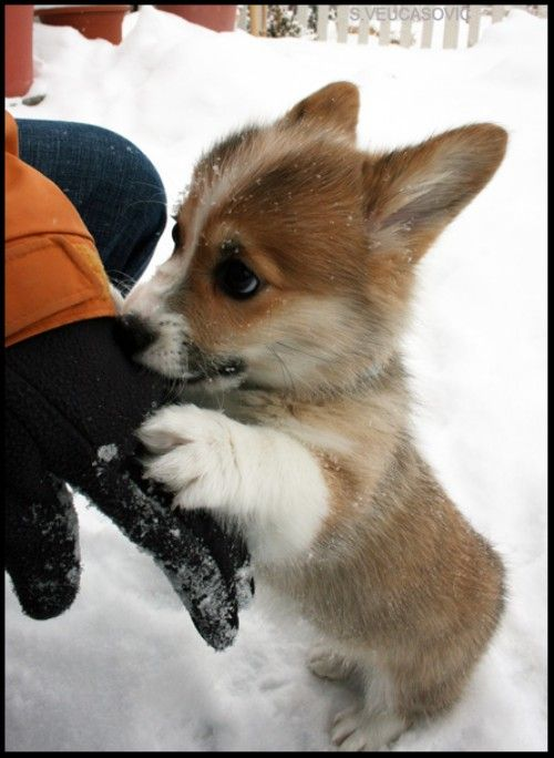 Amazingly adorable corgi pic.  I wonder if it's a puppy, or is it just the perspective that makes it look that way?