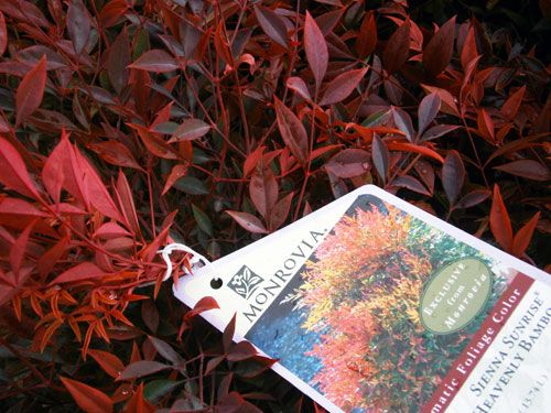 Sienna Sunrise nandina from Monrovia! Awesome color year round, vibrant reds in winter.