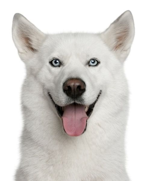 blue-eyed all white siberian husky