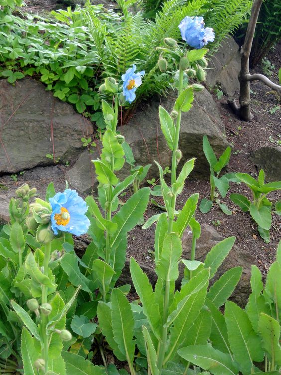 Einzigartiges Blau, aber auch sehr ansprüchlich: der Tibet-Scheinmohn (Meconopsis betonicifolia)