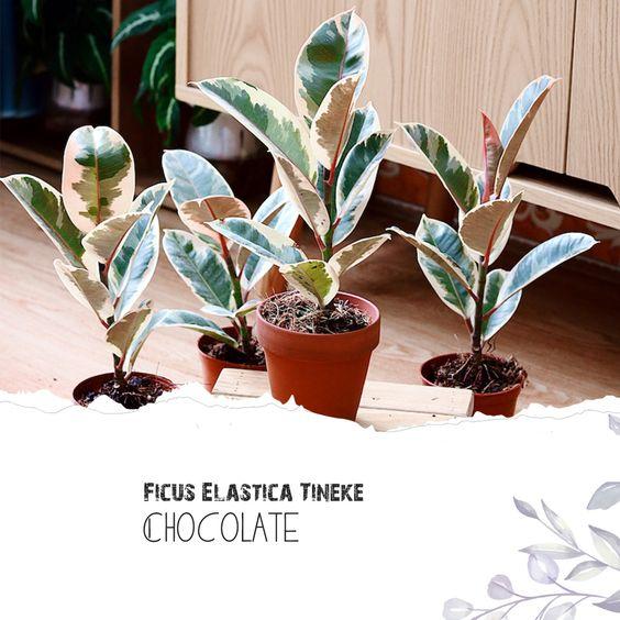 Cây Đa Cẩm Thạch Sô Cô La (Marble Rubber Tree, Ficus Elastica Tineke) > 25cm