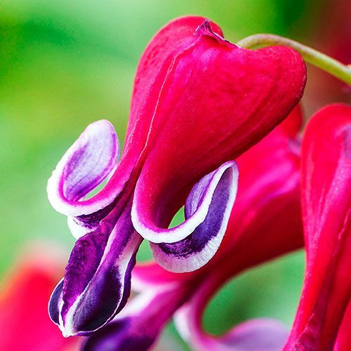 Fire Island Bleeding Heart Brecks Com Bleeding Heart Flower Bleeding Heart Deer Resistant Perennials