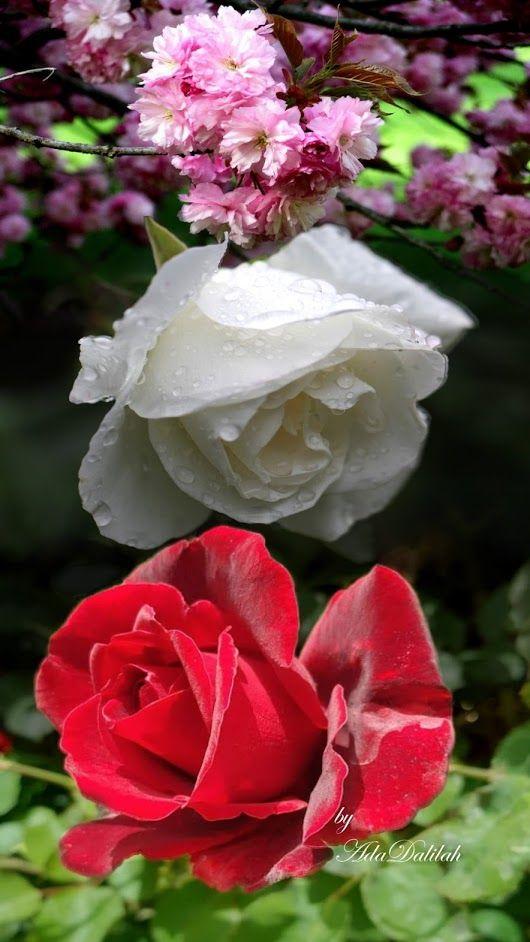Pin By Rakovecz Laszlo On El Humor Pretty Flowers Beautiful Roses Beautiful Flowers