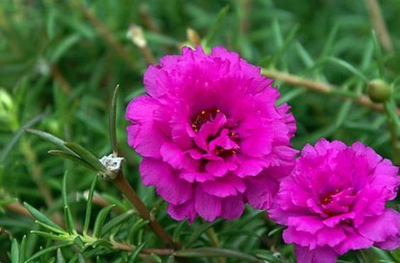 PORTULACA Moss rose DOUBLE PINK , Great In Containers !