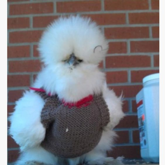 Chicken in a Knitted Sweater - http://www.backyardchickencoops.com.au/top-fiv...