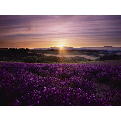 You'll love the Lavendar Sunset Art Photographic Print on Canvas at Wayfair - Great Deals on all Décor products with Free Shipping on most stuff, even the big stuff.