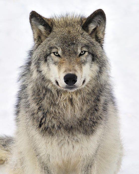 The northwestern wolf ...