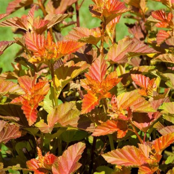 First Editions Amber Jubilee Ninebark Ninebark Tree Hibiscus Tree Ninebark Shrub