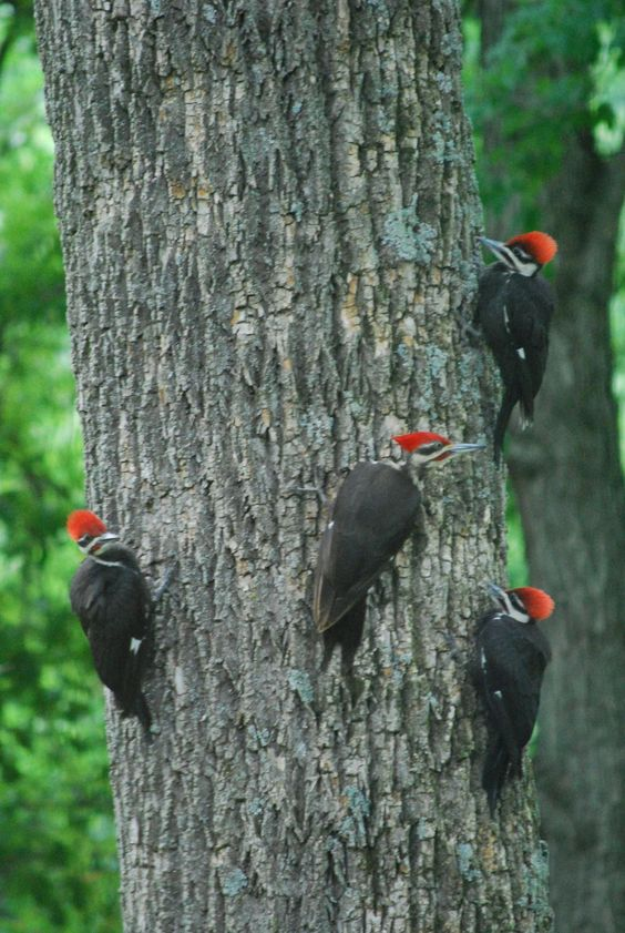 Pileated Woodpeckers by Jeremy Lemmons: