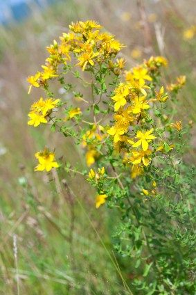 St. John's Wort oil and tincture