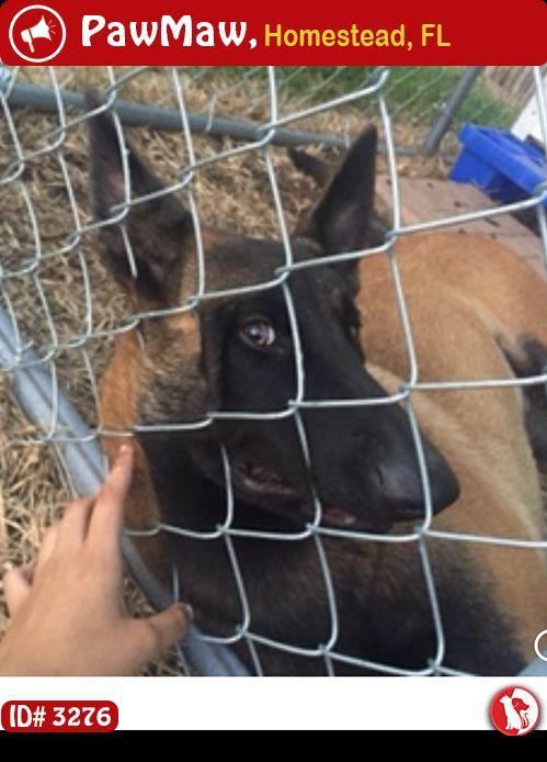 Help Shadow Is Lost Losing A Pet Belgian Malinois Pets