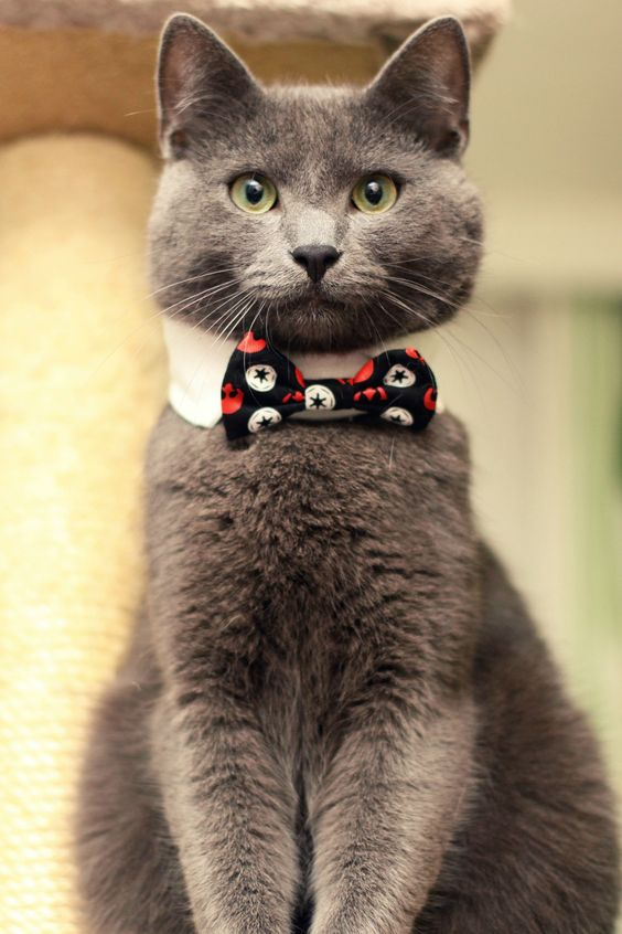 cat wearing a tie - Google Search