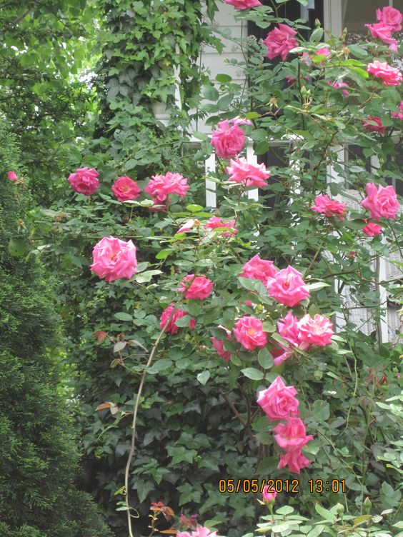 When these roses bloom in the front, it's like a water fall of flowers
