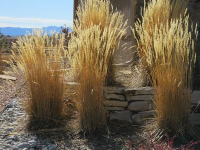 calamagrostis overdam feather reed grass - Google Search