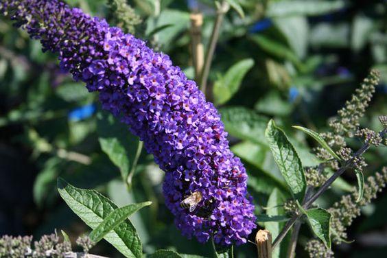 Sommerfuglebusk Buddleja Empire Blue Blomstring V Vi Beskaering Marts 200 Cm Fuld Sol Plantet Op Af Sydvendt Husmur Sommerfuglebusk Blomster Planter