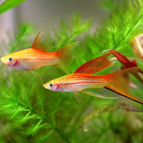 Types of small freshwater aquarium fish for Small tropical fish