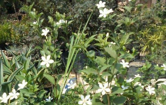 21 Bunga Melati Semerbak Nan Wangi Bibit Kembang Melati Kampung Download 8 Jenis Tanaman Hias Depan Rumah Yang Cantik Dan Indah Bunga Gambar Bunga Tanaman