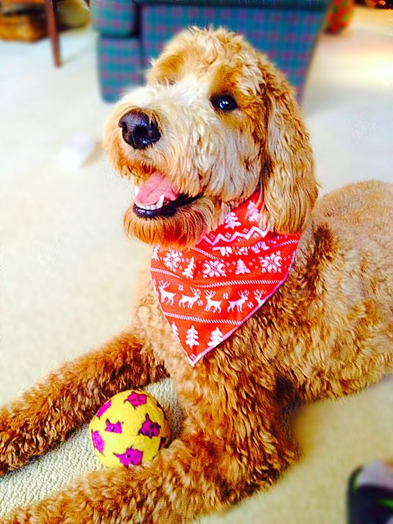 Indy the Goldendoodle Therapy Dog in Training.