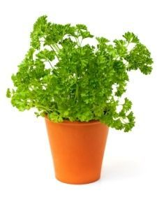 Growing Parsley Plant Indoors How To Grow Parsley Herb Parsley Plant Growing Parsley Planting Herbs