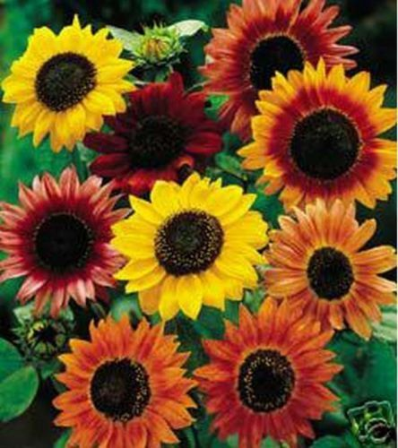 Sunflower-Autumn-Beauty-Mix-15-Seeds