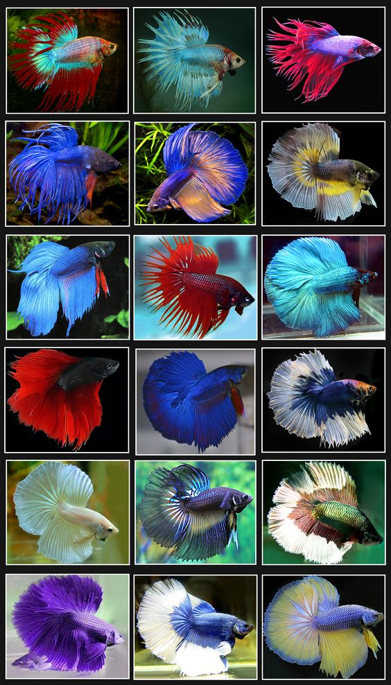 Betta fish or siamese fighting fish are found mainly in for Beta fish names