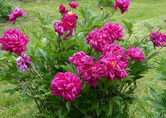 Przesadzanie Piwonii Fot Alois Grundner Pixabay Landscaping With Rocks Perennial Plants Beautiful Flowers