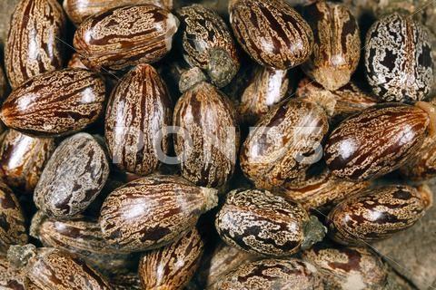 Seeds Of The Castor Oil Plant Ricinus Communis Stock Photos Ad Oil Plant Seeds Castor Oil Plant Castor Oil Seeds