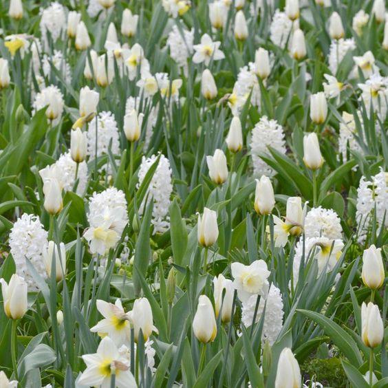Weiße Hyazinthe 'Aiolos' zwischen weißen Tulpen und Narzissen. Pflanzzeit ist im Herbst - online erhältlich bei www.fluwel.de