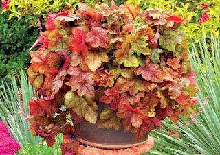 Heucherella 'Redstone Falls', first trailing heucherella. Perfect for containers and rock gardens.