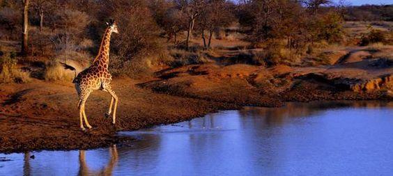 Girafe du parc Kruger  Le parc Kruger est probablement la réserve animale la plus grandre d'Afrique du Sud.  pour sa vaste superficie,