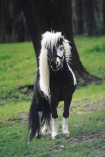 Beautifully marked paint -Shetland pony said the pinner; I think miniature horse from the proportions.