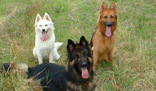 German Shepherds Comes In Variety Of Coat And Colors And Patterns