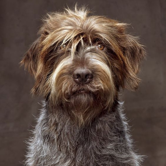 Dog Breeds That Have Griffon In Name