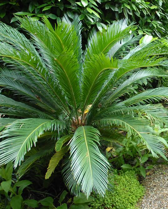 Sago palm aren't ever touched by deer. They are evergreen in the south, will come back after freezing if the roots don't freeze. They 'make babies' you split off with a shovel and replant. GREAT plant!