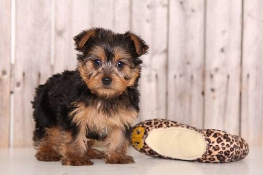 Yorkshire Terrier Puppy For Sale In Mount Vernon Oh Usa Adn 81535 On Puppyfinder Com G Yorkshire Terrier Puppies Yorkshire Terrier Haircut Yorkshire Terrier