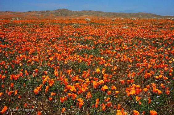 Antelope Valley poppy carpet by Chief Bwana, via Flickr
