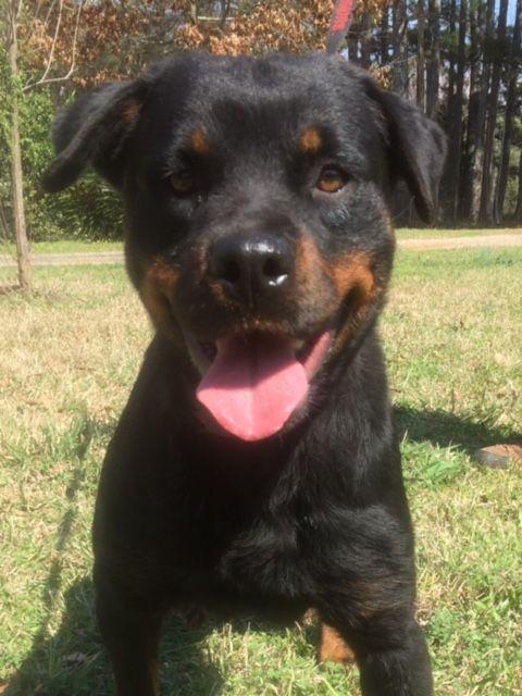 Rottweiler Dog For Adoption In Rockaway Nj Adn 566160 On