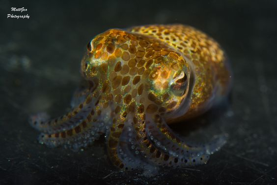 The Hawaiian Bobtail Squid forms a symbiotic relationship with a bioluminescent algae that it houses in a special organ and is able to adjust the brightness to provide counter-illumination while it hunts at during moonlight hours. http://ift.tt/1m9m0Ii