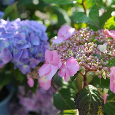 Gardener's Supply -- You may have heard that you can change the color of a hydrangea's flowers by adjusting soil pH. But there's a little more to it than that. ~ Growing Blue Hydrangeas