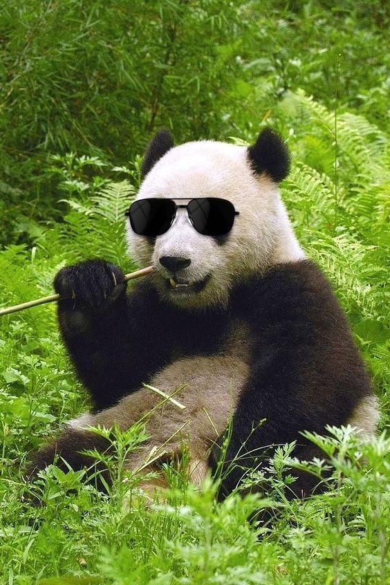 サングラスをかけるパンダ