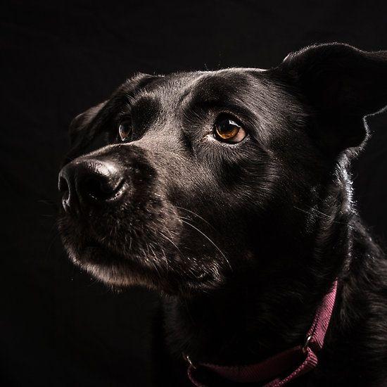 Mrs. Lucky Labrador