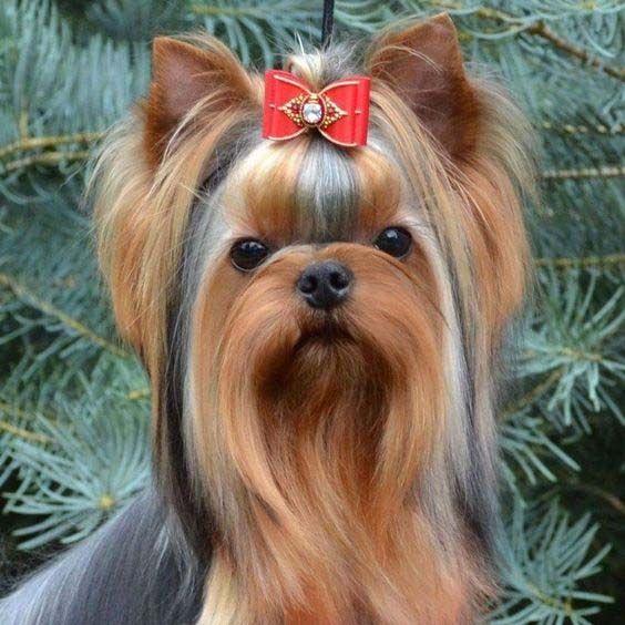 Criadero De Yorkshire En Mexico Yorkshire Terrier Dog Yorkie Terrier Yorkie Puppy