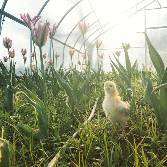 Suppertime visit to our favorite #flowerfarm @everythingbotantical! #cutflowers #chickie #babychick #chick #chicchick #tulips #springflowers #tulip #farmlife