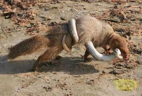 Mongoose Vs Snake In 2020 Mongoose Vs Snake King Cobra Snake