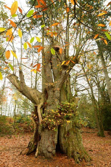 Châtaignier (Castanea sativa) creux de 7,70 m de circonférence.