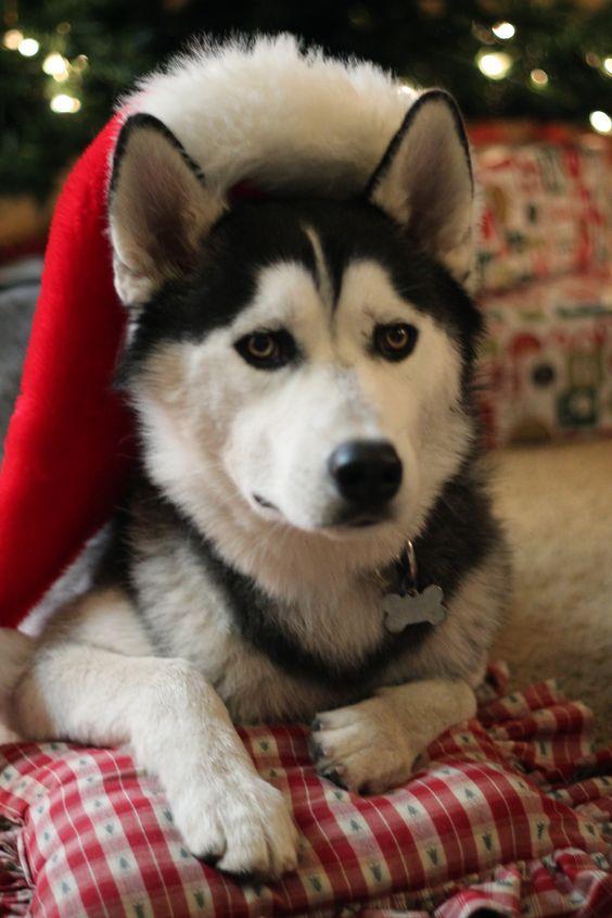 husky love: